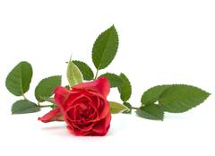 beautiful rose - stock photo