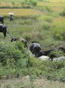 young indian man leads his water buffalos - stock photo