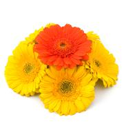 Beautiful daisy gerbera flowers Stock Photos