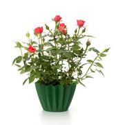 beautiful rose in flowerpot - stock photo