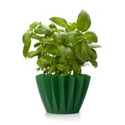 sweet basil leaves - stock photo
