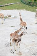 Stock Photo of giraffes in the savanna