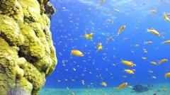 Beautiful goldfish in the reef Stock Footage