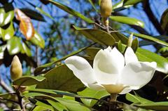 white magnolia flower in full bloom and blue sky - stock photo