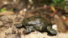 Philippine soft shelled turtle crawls away Stock Footage