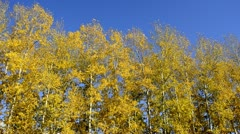 Poplars in autumn on a sunny day Stock Footage