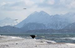 Bald eagle on icy beach Stock Photos