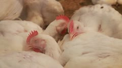 White Chickens ill, sick,flu in farm Stock Footage
