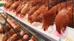 Chicken eggs,hen eating food in farm Stock Footage