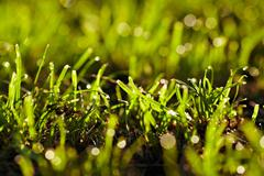 morning dew on a grass. - stock photo