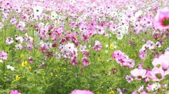 Cosmos field in breeze Stock Footage