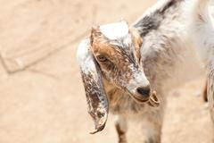 Portrait of a young goat Stock Photos