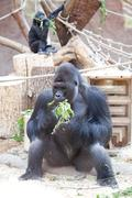 gorilla in the aviary - stock photo