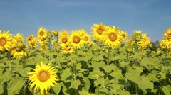 HD , sun flower field in breeze - stock footage
