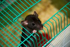 home rat looking out of the cage - stock photo