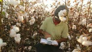 Stock Video Footage of Cotton Crop Inspection