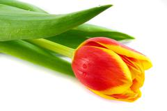 Red tulips isolated on white Stock Photos