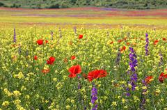 Bright rapeseed field with poppies and delphiniums Stock Photos