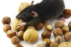 domestic rat and nuts isolated on white - stock photo