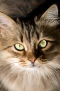 Stock Photo of portrait of a beautiful siberian cat