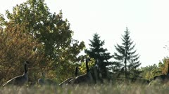 Geese scenic - stock footage