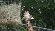 Giraffe Stock Footage