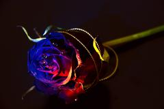 conceptually illuminated rose on a black background - stock photo
