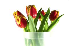 Tulips isolated on white Stock Photos