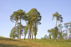 Stock Photo of lonely pine trees