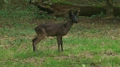 Roe Deer standing in forest at dusk 01p Stock Footage