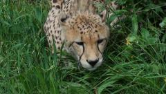 A cheetah lying in lush green grass Stock Footage