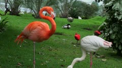 Two  flamingos next to each another Stock Footage