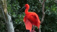 Stock Video Footage of Scarlet ibis looking around and scratching itself