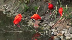 A flock of scarlet ibis at the river - stock footage