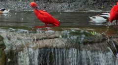A scarlet ibis and common shell ducks . - stock footage