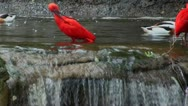 A scarlet ibis and common shell ducks . Stock Footage