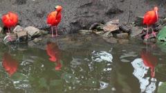 Three scarlet ibis Stock Footage