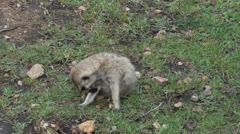 A meerkat Stock Footage