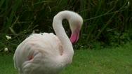 A  flamingo clean itself Stock Footage