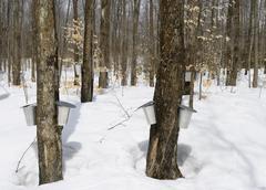 Maple syrup season, springtime Stock Photos