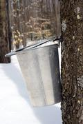 Droplet of maple sap ready to fall into a pail - stock photo