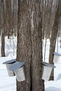 Maple syrup production, springtime - stock photo