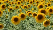 Sunflower field  breezing in the wind Stock Footage
