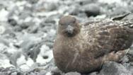 Antarctica, Skua Sitting Stock Footage