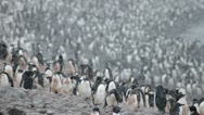 Antarctica, Adelie Penguin Colony LS 2 Stock Footage