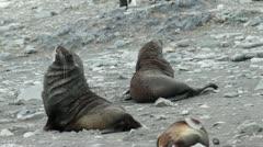 Antarctica, Antarctic Fur Seals MS Stock Footage
