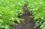 Field of potato Stock Photos
