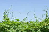 Green vines Stock Photos