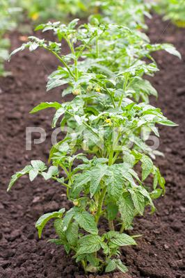 Stock photo of row of tomato
