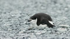 Antarctica, Chinstrap Penguin Resting Stock Footage